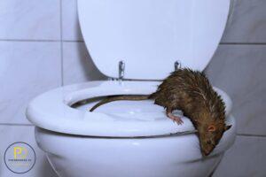 Szczur nawet na 10 piętrze